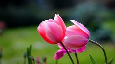 flowers tulips flowers pink nature full hd wallpaper 1920x1080