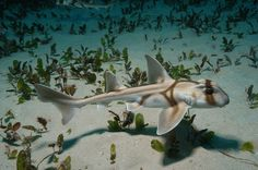 Port Jackson Sharks.. absolutely beautiful!