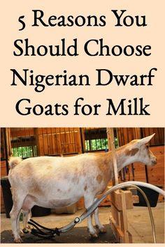 5 Reasons to Choose Nigerian Dwarf Goats for Milk #choosenigeriandwarfgoats #bestgoatsformilk #bestgoatmilk Raising Farm Animals, Raising Goats, Types Of Goats, Goat Fence, Goat Shelter, Feeding Goats, Goat Care, Nigerian Dwarf Goats, Dairy Cattle