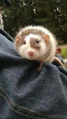 Fluffy rat