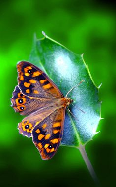 ~~Speckled Wood (Pararge aegeria) butterfly on holly by Ignazio Corda~~