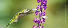 Anna's Hummingbird -female by BH Weber on 500px