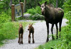Mamma moose and babies. Notice the Mamma has hairs standing up in the back of her neck! Moose Pics, Moose Pictures, Cute Animal Pictures, Large Animals, Cute Baby Animals, Animals And Pets, Majestic Animals, Animals Beautiful, Bull Moose