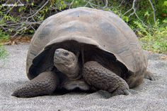 See a giant Galapagos Tortoise on the Galapagos Island