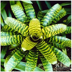 Vriesea Hieroglyphica - bromeliad