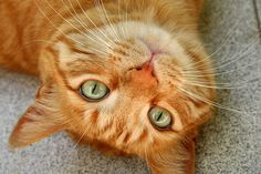 Upside down orange cat - Tabby Cat - Ideas of Tabby Cat - Orange tabby cat love my little red head The post Upside down orange cat appeared first on Cat Gig. Cute Cats And Dogs, I Love Cats, Cool Cats, Cats And Kittens, Cats Bus, Crazy Cat Lady, Crazy Cats, Neko, Orange Tabby Cats
