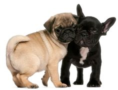 Photo about Pug puppy and French Bulldog puppy, 8 weeks old, hugging in front of white background. Image of animal, hugging, creature - 21996352 Cute French Bulldog, French Bulldog Puppies, Pug Puppies, French Bulldogs, Dry Dog Nose, Baby Pugs, What Dogs, Cute Pugs, Pug Love