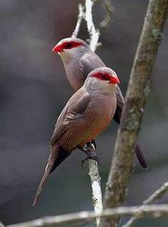 Bico de Lacre  - Aves do Brasil.