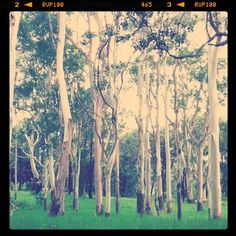 artist - Sibella Court - A majestic white gum forest in Sydney central