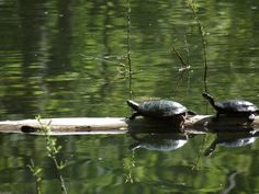 turtles at the pond