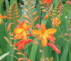 Montbretia Crocosmia Pretty On Roadsides West Coast South Island Flowers Profusely In Summer