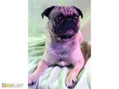 Pugs AKC Parents OFA & DNA Tested Health Guaranteed Pugs AKC We are an AKC Breeder of HEART programas well. ready to go home at 8 weeks & will be Registered Both parents are ...