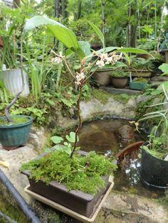 カラタチバナ   (omagaの庭で)