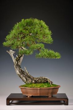 Gallery: Various bonsai  - Foto 1/7
