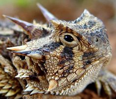 Horned lizard - Mexico. This incrdible creature shoots blood out of his eyes to protect himself from predators.