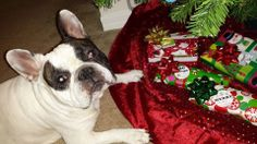 Bradley guarding the presents under the Christmas tree :) #frenchbulldog #frenchie