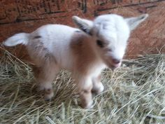 Dwarf Pygmy goat cute and tiny. Mini Goats, Cute Goats, Baby Goats, Baby Pygmy Goats, Baby Farm Animals, Cute Little Animals, Wild Animals, Cabras Animal, Pigmy Goats