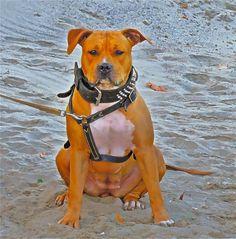 :) Pitbulls, Dogs, Animals, Animales, Pit Bulls, Animaux, Pet Dogs, Pitbull, Doggies
