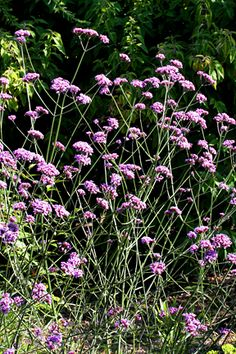 Verbena bonariensis - drought tolerant, 6 feet tall, and bees and butterflies swarm it.