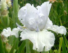Tall Bearded Iris 'Alabaster Unicorn'