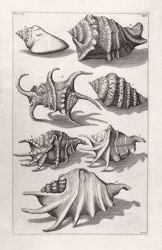 New item in my etsy shopTropical Shells vintage engraving reproduction by PanchromaticaDesigns. Find it here http://ift.tt/1MKnMf2