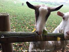 Edgarten - Gartenblog: 🐐 Reifenwechsel und Ziegen Goats, Animals, Sad Stories, Happy Sunday, Animales, Animaux, Animal Memes, Animal, Goat