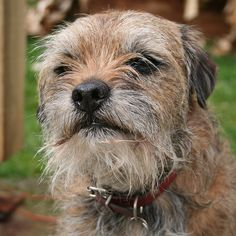 All Small Dogs Photo: Border Terrier