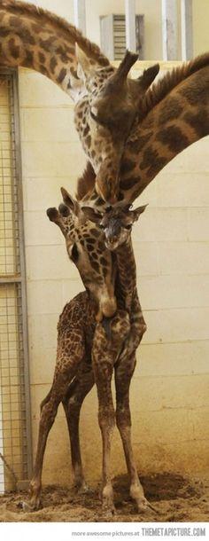 Giraffes hugging baby cute. @Kristy Mickelson would love :)