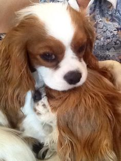 My Cavalier King Charles Spanials puppy, Auggie, loves his brother Teddy