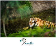 Pittsburgh Zoo - Tiger www.nicdreamcatcher.com ©Nicole Iagnemma