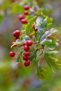 White in spring, red in autumn: hawthorn gives us pleasure throughout the year. From May to June these large shrubs or small trees are covered in a froth of white flowers arranged in small clusters or corymbs.