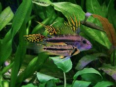 Apistogramma is a genus consisting of 84 species of gorgeous tropical South American dwarf cichlids. Make that 85 species now. Tropical Freshwater Fish, Freshwater Aquarium Fish, Aquarium Fish Tank, Planted Aquarium, Home Aquarium, Aquarium Ideas, Fish Tanks, Tropical Aquarium, Tropical Fish
