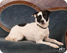 Salem, OR - Border Collie/Terrier (Unknown Type, Medium) Mix. Meet Midge, a puppy for adoption. http://www.adoptapet.com/pet/17543894-salem-oregon-border-collie-mix