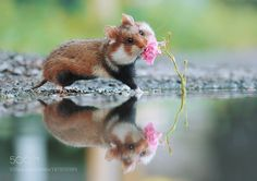 Hamster & Rose by Julian_Rad #nature #mothernature #travel #traveling #vacation #visiting #trip #holiday #tourism #tourist #photooftheday #amazing #picoftheday