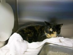 cat found on 12/2/13 A98723 DSH Tortoiseshell female cat found at Tasman Dr and Birchwood Dr in Sunnyvale 9408