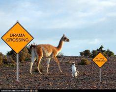 The Long and Short of It...drama llama!