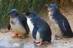 Fairy Penguins, OH MY GAH...if you're a fairy penguin, I'm a fairy penguin!