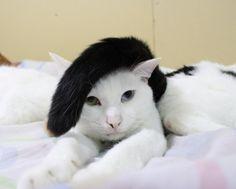 cat comb-over?