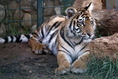 Three Siberian tigers are finding a new life in Europe after Syria smuggling attempt http://www.newsweek.com/animal-welfare-group-rescued-siberian-tigers-syria-635322?utm_campaign=crowdfire&utm_content=crowdfire&utm_medium=social&utm_source=pinterest