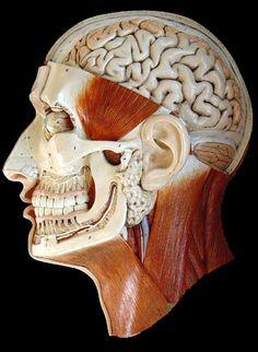 Bock Steger | Anatomical Head | 1900