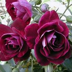 Флорибундовая роза Бургунди
