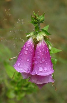 Foxglove-love this flower