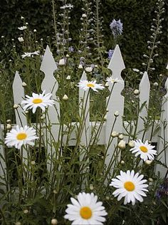 Shasta Daisies and White Picket Fence - Lazy Daisies by Live Mulch