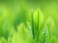 White Tea Leaves are young, hand-picked and shade-grown for superior quality.