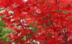 fireglow japanese maple | ... .com » Members » Pictures » Fireglow Japanese Maple Picture