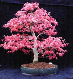 Seign Maple UK Bonsai Tree Gallery