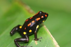 Rio Santiago Poison Frog (Excidobates captivus).  It's the poison ones that are the prettiest.  How ironic.
