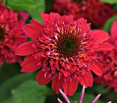 Echinacea Raspberry...deer resistant, full sun, 28 inches, blooms from June through August