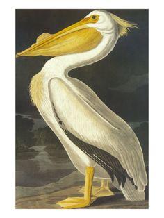 American White Pelican Giclee Print