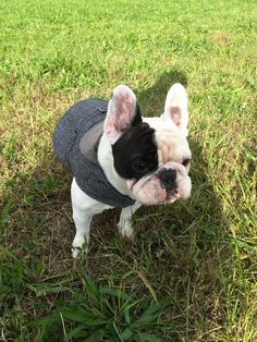 Manny the Frenchie looks adorable in his #marthastewartpets Tweed Coat. Get yours @petsmartcorp.
